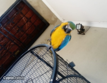 BUY BLUE AND GOLD MACAW