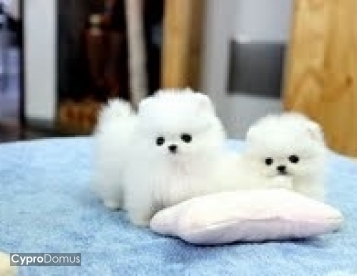 Pomeranian is looking for a new home,