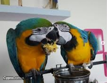 Blue and Gold Macaw for adoption.