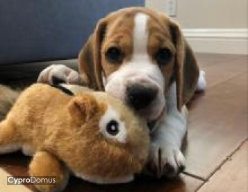 Cute  Beagle puppy available