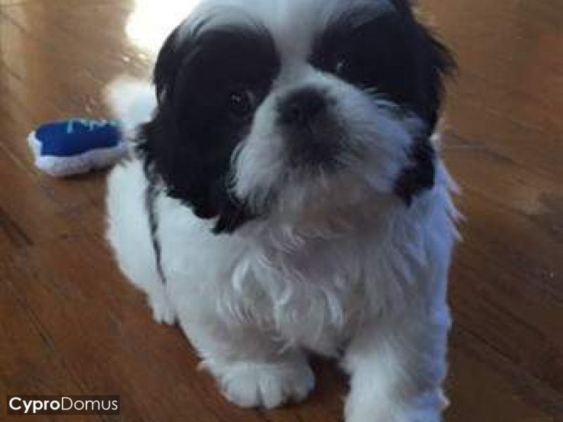 Gorgeous Teacup Shih Tzu Puppies