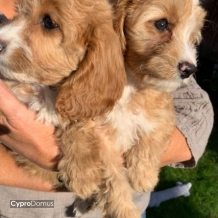 Cavapoo Puppies outstanding