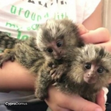 Marmoset monkeys for adoption