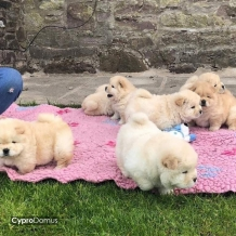 Chow Chow Puppies Mevcuttur.